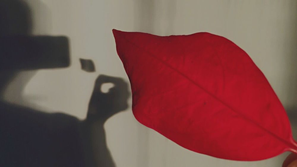 Christmas is falling down... Red One Person Lifestyles Real People Indoors  Communication Day Capture Moments Warm Colors Shadow Una Foto Al Giorno Leaf Red Leaf Tranquil Scene Beauty In Nature Beautiful Day Fingers Warm Atmosphere Tranquility Sweet Moment Light And Shadow Human Hand