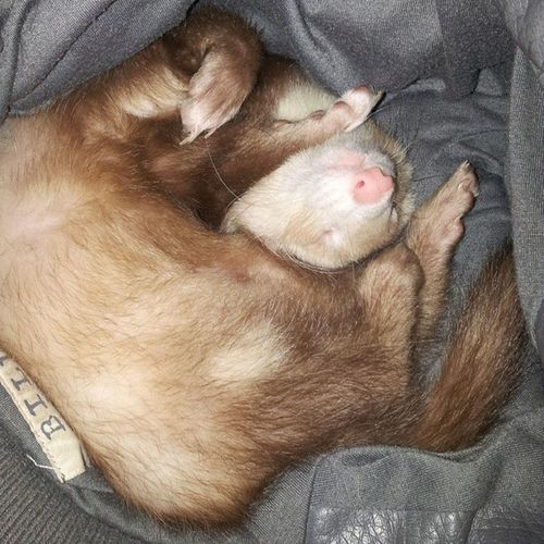 Sparrow sleeps so funny! :) lol he loves my coat! :) Captain Sparrow MyBabyBoy Babyferret ferretfever ferretlove ferretmom ferretlovers99