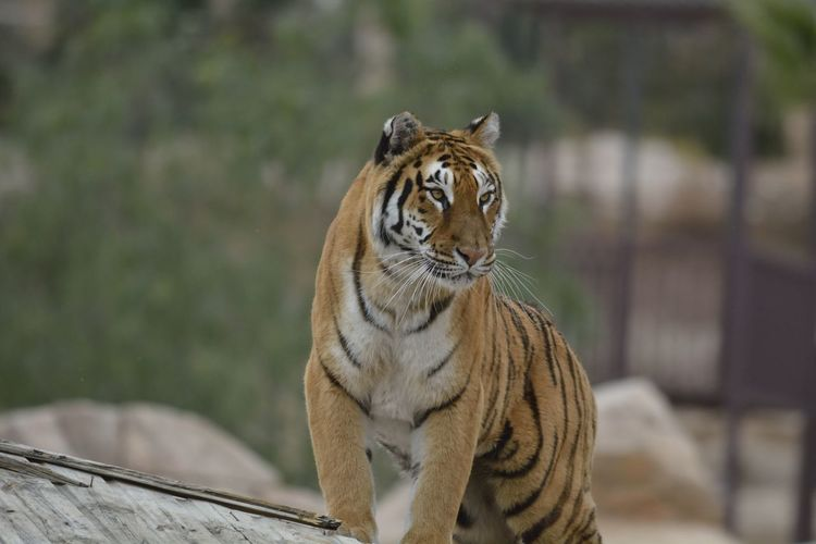 Close-Up Of Tiger Standing In Zoo