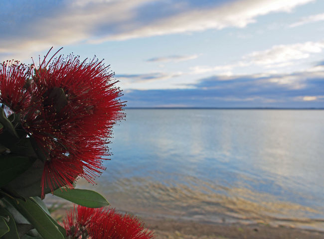 A Pohutukawa flower against a tidal harbour at dawn Pohutukawa Beauty In Nature Close-up Cloud - Sky Colour Flora Flower Flower Head Focus On Foreground Fragility Freshness Growth Horizon Over Water Nature New Zealand No People Outdoors Plant Red Scenics Sea Sky Tranquility Vegetation Water
