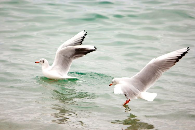 Bird Animal Wildlife Water Animals In The Wild Animal Themes Swimming Sea Nature Spread Wings No People Beauty In Nature Outdoors Togetherness Horizontal Day Water Bird Seagull Animals In The Wild Seagulls Animal Wing