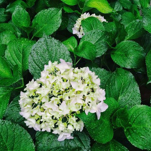 Green Color Flower Plant Growth Nature Leaf No People Fragility Day Beauty In Nature Freshness Petal Flower Head Outdoors Close-up Blooming Flowerhead Summer Hygrangea Growth Plant Green Nature Green Color Freshness