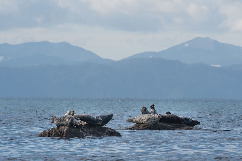 Seals on rock in sea