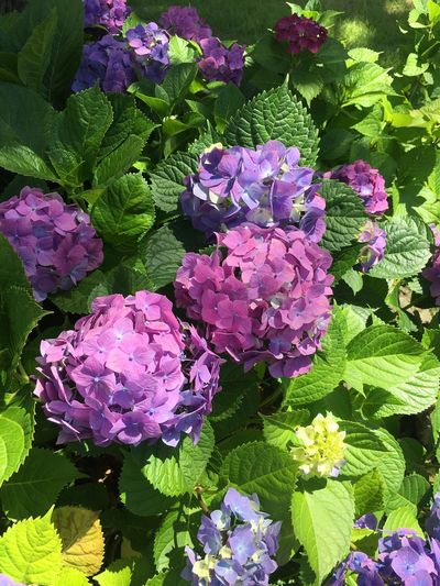 hydrangea 수국 Hydrangea Flowering Plant Flower Growth Beauty In Nature Freshness Plant Fragility