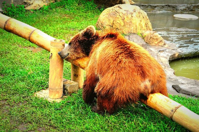 Animal Kingdom - Master of See Saw One Animal Grass Sunlight Animal Themes Green Color Mammal No People Day Outdoors Nature Bear Rest & Relax Sleepyhead Sleeping Bear