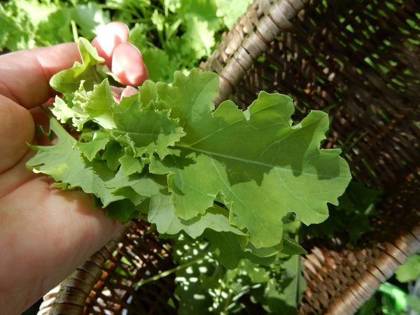 Cale Harvest Harvest Time Greenhouse Vegetables Garden Garden Photography Gardening Green Healthy Eating Healthy Healthy Food Healthy Lifestyle Hand Working Hands Hands Basket Fresh On Eyeem
