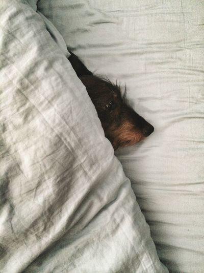 Rowdy  Sleepy Sleepyhead Dackel Dachshund Sausagedog Sausage Dog Bed StillInBed I Hate Mondays  Wakeup Wake Me Up Before You Gogo IPhoneography