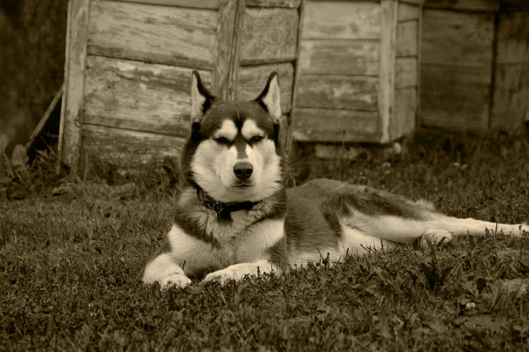 Alte Fotos Dog Domestic Animals Hund Husky Husky Dog Husky Hund Old Photo Old Photography Pets Portrait Siberian Husky Village Sepia Photography No Colors Nice Poise  The Guard Watch Sentinel