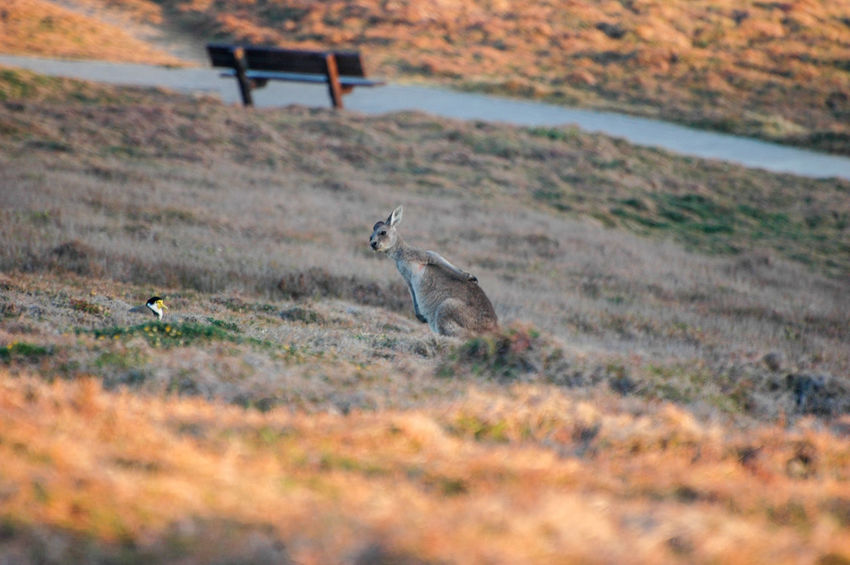 A plover and A roo Animal Behavior Park Dry Grass Grassland Grasslands National Park Australia & Travel Australian Native Animals Scratching Woolgoolga Spring Vacation Travel Destination Plover Marsupial Kangaroo Lapwing Bird Masked Plover Masked Lapwing Animals In The Wild Animal Wildlife Nature Outdoors Grass Autumn No People Animal Themes Beauty In Nature Field Day
