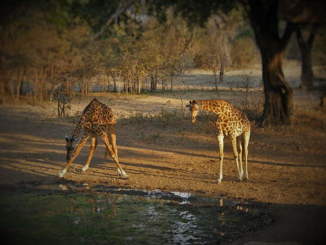 Africa Animal Themes Animal Wildlife Animals In The Wild Beauty In Nature Day Full Length Girrafe Drinking Lake Mammal Nature No People One Animal Outdoors Tree Water
