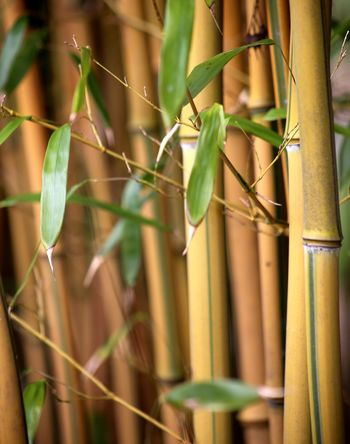 Landscape Bamboo - Material Growth Freshness Bamboo Groves Bamboo Shoot Plant Bamboo Trees Bamboo Tree Bamboo Tree... Nature Bamboo Leaves Bamboo - Plant Bamboo Forest Bamboo Leaf Beauty In Nature Branch Fragility Zen Bamboo Canes Spa