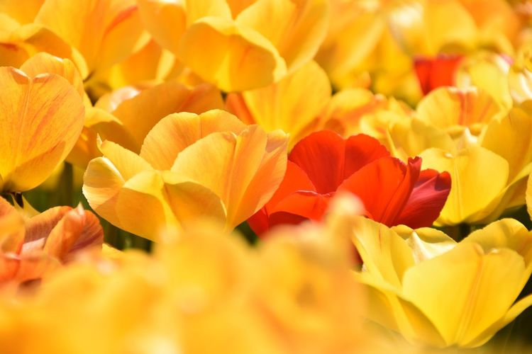 Tulips Tulips EyeEm Nature Lover Flowering Plant Flower Beauty In Nature Petal Freshness Vulnerability  Fragility Yellow Backgrounds Full Frame Selective Focus Red Orange Color No People Nature Tulip Freshness Vulnerability  Flowering Plant Growth Flower Head Close-up