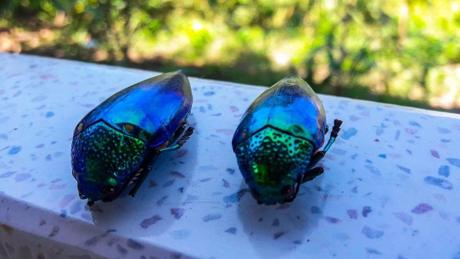 Beautiful creatures but now there is no life. Ruby Pomegranate Water Blue Peacock UnderSea Close-up Butterfly - Insect Animal Antenna Animal Wing
