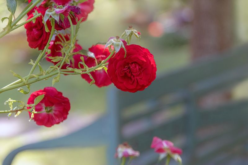 Flowering Plant Flower Plant Beauty In Nature Freshness Fragility Vulnerability  Close-up Petal Growth Focus On Foreground Red Inflorescence Nature Flower Head Rosé No People Day Selective Focus Pink Color Outdoors Parkbank Park View