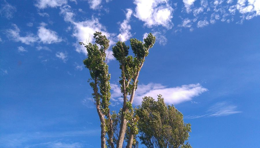Beauty In Nature Blue Botany Branch Cloud Cloud - Sky Day Green Green Color Growth High Section Low Angle View Majestic Nature No People Non-urban Scene Outdoors Scenics Sky Tall - High Tranquil Scene Tranquility Tree Tree Trunk Treetop