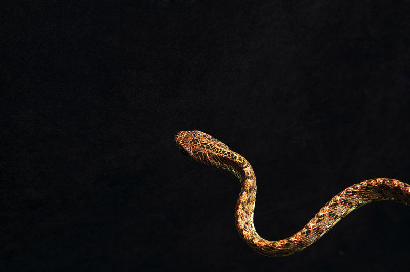Close-up of snake against black background