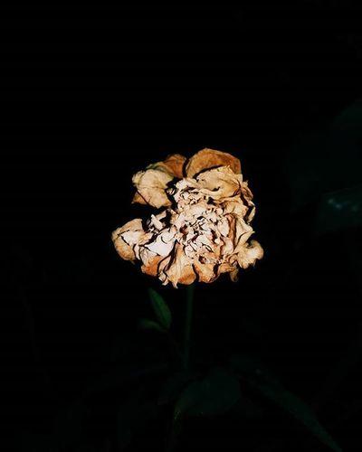 Withered Rose Flower Flowerporn VSCO Vscoshot Vscomobile Vscomood Vscodaily Vscocam VSCOPH Vscophiles Vscogood Vscocliqueph Vscohype Vscopinas Vscofeeds Vscofeedsph Vscogram Vscogrid Vscogrammer Tagsforlikes Tagsforfollow Followback Mobilephotography Photography PictogramPh grammerph