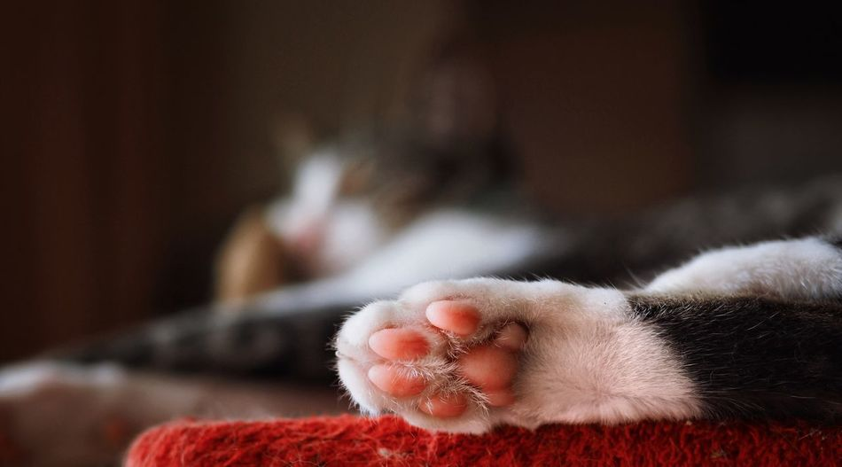 Close-Up Of Cat Paw At Home