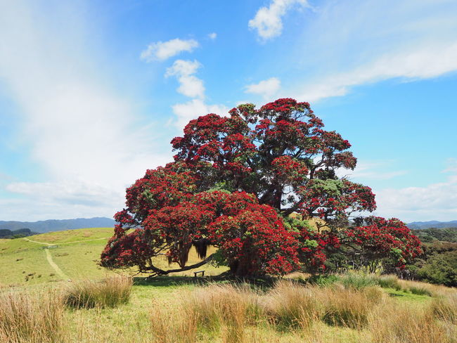 Pohutukawa native christmas tree in New Zealand Beauty In Nature Cloud - Sky Day Eye4photography  EyeEm Nature Lover Field Flower Freshness Grass Growth Landscape Nature No People Outdoors Pohutukawa Scenics Sky Tranquil Scene Tranquility Travel Photography Tree