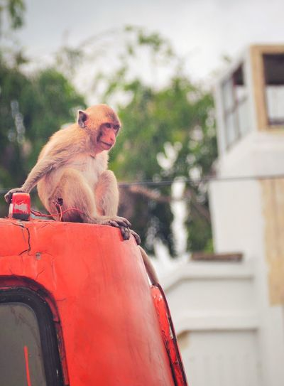 Monkey sitting on a car