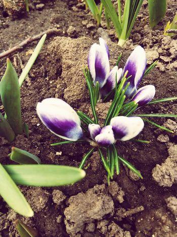 Springtime Beauty In Nature Crocus