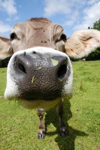 Animal Agriculture, Animal, Beast, Beef, Bevy, Bloodstock, Breeding, Cow, Curious, Dairy, Drove, Dug, Environment, Farm, Farming, Farmland, Fauna, Feed, Field, Grass, Grassland, Graze, Grazing, Heifer, Herb, Herbage, Herd, Husbandry, Landscape, Livestock, Mammal Animal Themes Close-up Cloud - Sky Day Domestic Animals Field Grass Livestock Mammal Nature No People Outdoors Sky
