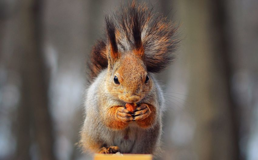 https://www.instagram.com/alyabev_ru/ Animal Themes Animal One Animal Animal Wildlife Close-up Mammal Animals In The Wild Looking At Camera Animal Head  Portrait Outdoors Nature Animal Body Part Squirrel Brown Vertebrate Rodent Day Focus On Foreground No People Holding Nature Food Squirrel Animals In The Wild Eating Food And Drink Nature Food And Drink Squirrel