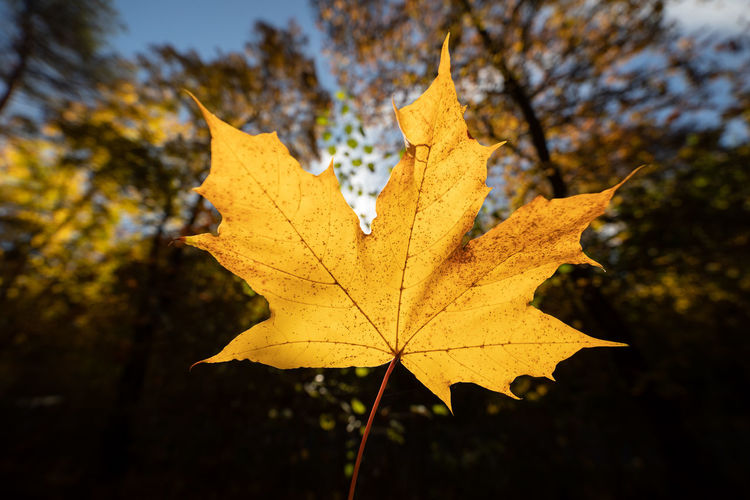 Plant Part Leaf Autumn Change Nature Plant Tree Focus On Foreground Maple Leaf Close-up No People Beauty In Nature Day Outdoors Yellow Leaf Vein Dry Maple Tree Orange Color Growth Natural Condition Leaves Autumn Collection Fall