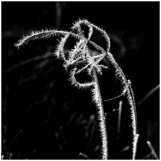 Black & White Perspectives On Nature Beauty In Nature Close-up Focus On Foreground Fragility Freshness Hoarfrost On Plant Monochrome Photography Nature No People Outdoors Plant Whitefrost Winteriscoming