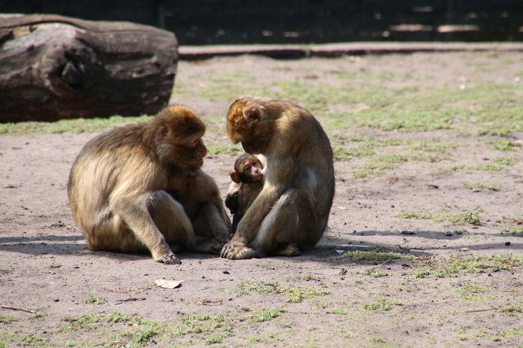 Monkeys sitting on ground