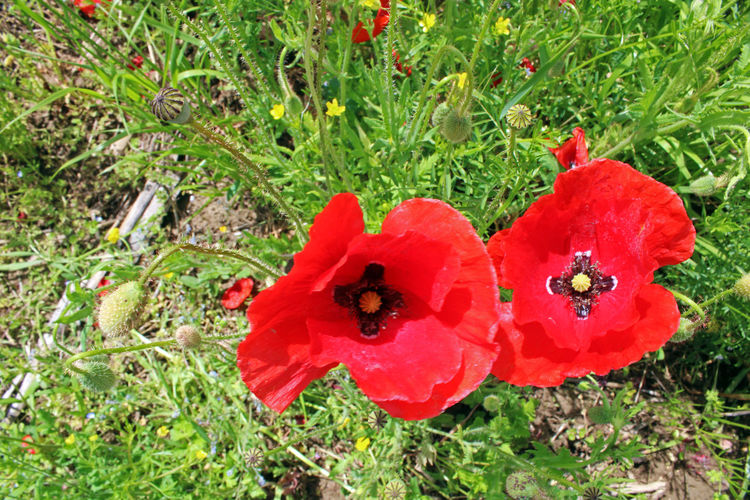 High angle view of red poppy flower on field