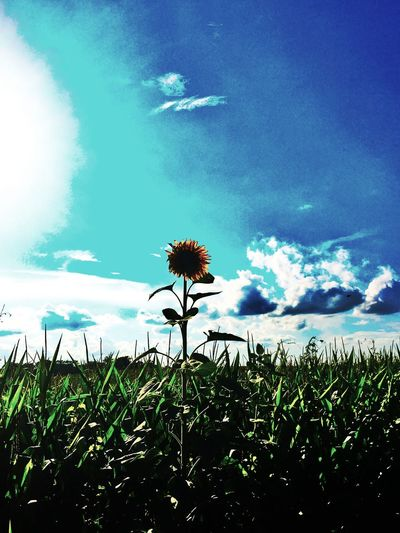 Stand alone and strong Sky Field Beauty In Nature Sunflower Flower Cornfield Countryside
