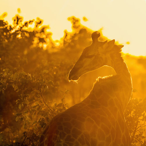 View of reptile on land during sunset