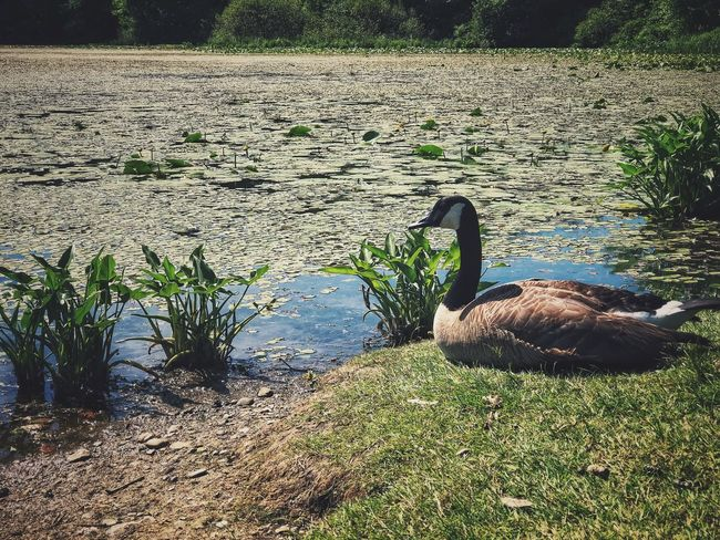 Canadian Goose resting on the shore of Arcade Pond Sunlight Nature Animal Themes Day Vertebrate Plant Animal One Animal Animal Wildlife Animals In The Wild No People Outdoors Green Color Mammal Shadow