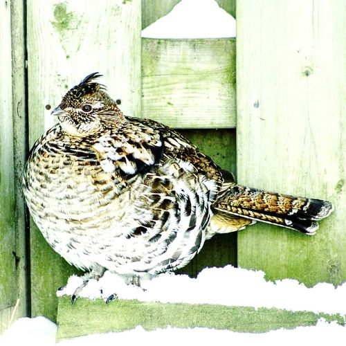 Just another backyard visitor Bird Photography Backyardphotography Quail Feathers NaturalBeauty Taking Photos Hanging Out Nature Photography No People Canon The Great Outdoors - 2016 EyeEm Awards Adapted To The City