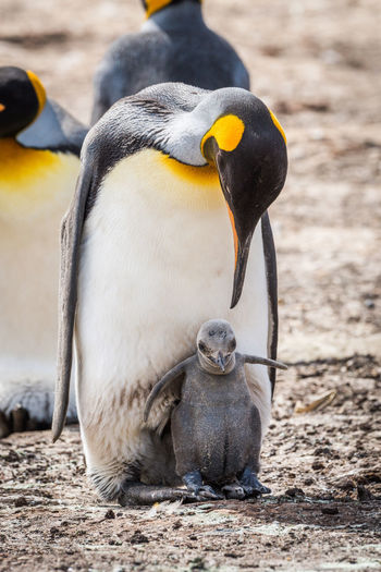 Close-up of emperor penguin with chick on field