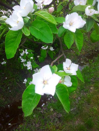 Quince flower Beauty In Nature Blooming Close-up Day Flower Flower Head Fragility Freshness Green Color Growth Leaf Nature No People Outdoors Periwinkle Petal Plant White Color