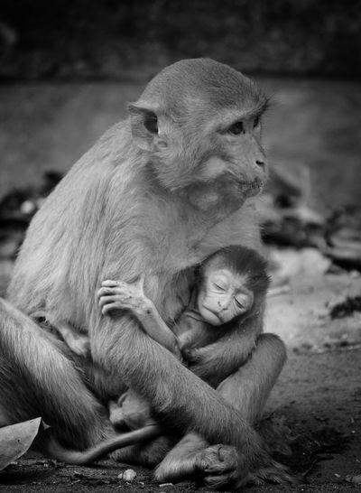 Cute little baby monkey sleeping in lap of mother