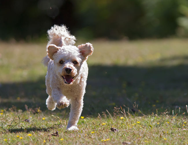 Portrait of dog running on grass