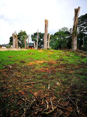 Poor trees - due to safety purposes, their tops have to be cutting down Trees And Sky Trunk Tree Outdoors No People Evening