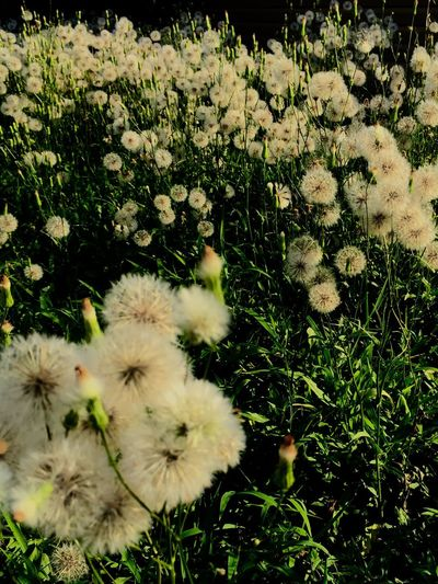 Vacant lot with a sea of dandelions Pom Pom Flower