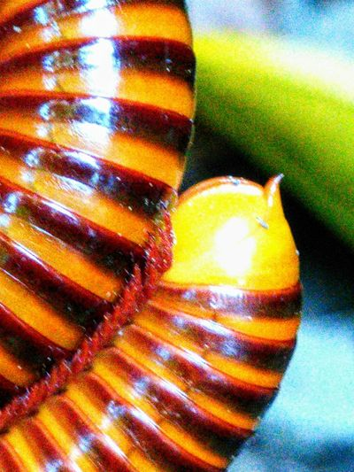 Male reproductive organ. Millipedes One Animal Reptile Animal Wildlife Animal Themes Animals In The Wild Close-up Multi Colored Pattern Textured  Beauty In Nature Reptile Photography Reptilecollection Brown Zoom Shot Zoomzoom Zoom In ZoomInToDetail Travelling Thailand Focus On Foreground Macro EyeEmBestPics EyeEm Nature Lover EyeEm Best Shots High Angle View