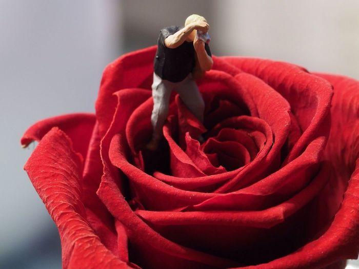 Rose Fotograf Rose🌹 Flower Red Petal No People Freshness Rose - Flower Flower Head Beauty In Nature Day Nature Indoors  Fragility