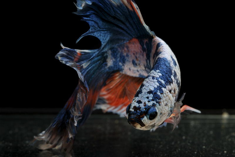 Siamese fighting fish colorful fish on a black background, halfmoon betta.