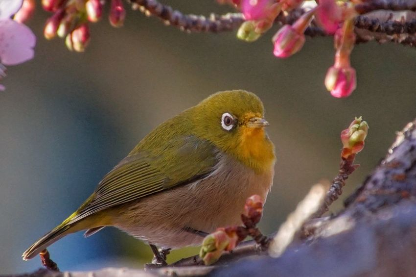 Close-up メジロ Bird White-eye Bird Watching 河津桜 Flower EyeEm Nature Lover Pink Color Cherry Blossoms EyeEm Best Shots Nature_collection