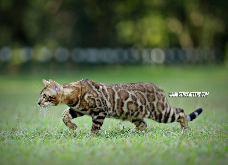 Animal Cats Pets Meow EyeEm Indonesia EyeEm Animal Lover Pet Photography  Bengal Cat Petstagram Hello World