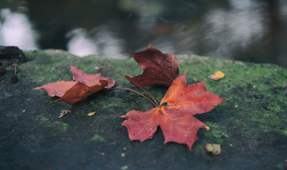 Autumn Kungshamn Red September Sweden XF56mmAPD Autumn Beauty In Nature Change Day Eyeem Sweden Fallen Fragility Fujifilm Leaf Leaves Nature Naturelovers No People Outdoors Rott Sotenäs Svensk Höst Svensk Natur Water X-t2
