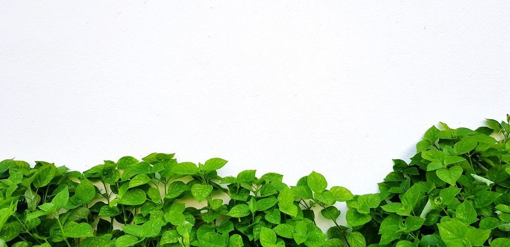 Close-up of ivy against white wall