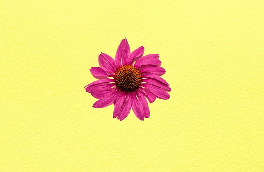 Echinacea Echinacea Flower Head Flower Yellow Petal Pollen Multi Colored Springtime Vibrant Color Blossom Close-up Coneflower Blooming The Still Life Photographer - 2018 EyeEm Awards