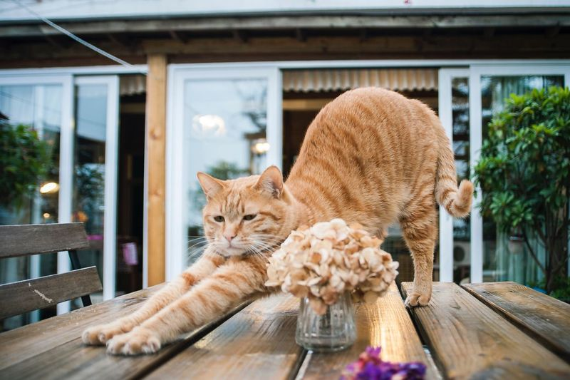Domestic Cat Ginger Cat Cat Animals Cat Lovers Cat♡ Cute Pets Pets Shenzhen EyeEm China Pet Photography  懒腰~